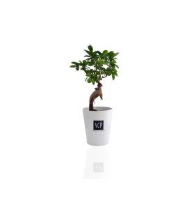 Le Ficus Ginseng